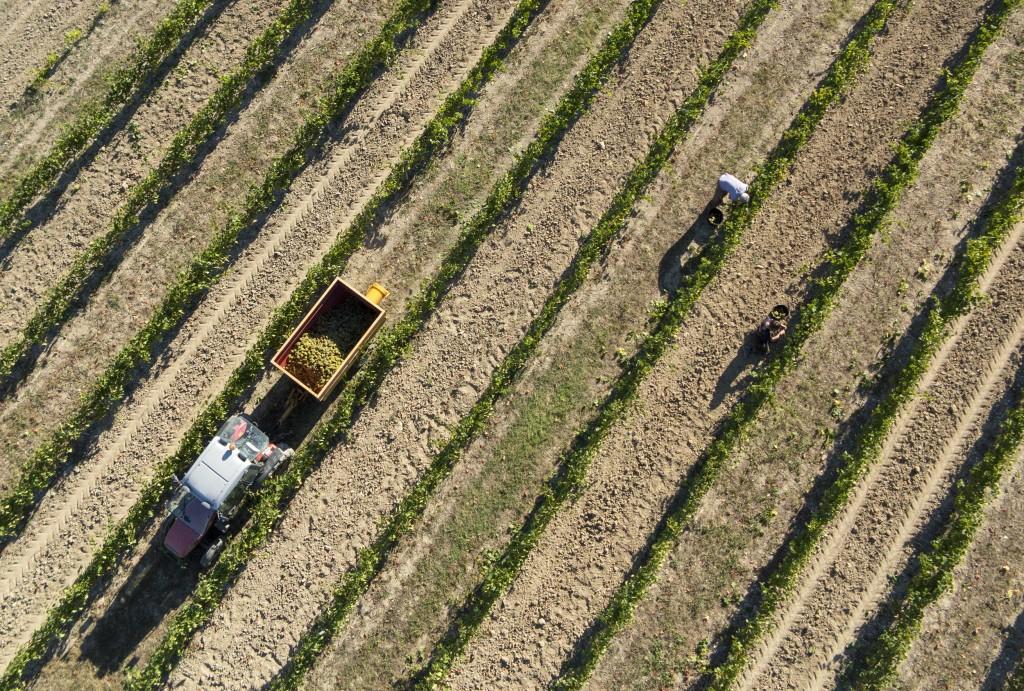 Photo aérienne d'une scéne de vendange manuelle
